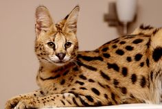 Own a Savannah cat African Serval Cat, Serval Cats, Large Domestic Cat Breeds, Russian Blue, Cat Wallpaper, Maine Coon Cats, Animals For Kids, I Love Cats, Cats And Kittens