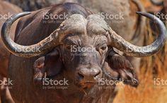 Close up of a Buffalo Face and horns foto de stock libre de derechos