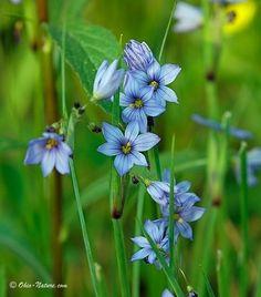 Northwest Ohio Rare Plants:  Atlantic Blue-Eyed Grass