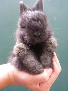 awwwwww baby angora rabbits are so cute! its been a long time since mine were babies