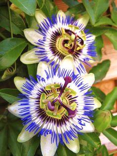 Passionsblume (frostverträglich) | Grünpflanzen | Pflanzen | Der Palmenmann