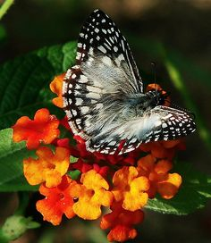 ~~Butterfly on Lantana Flower by ruthalice43~~
