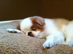 My sleepy precious, Keiko Chin Chin, Japanese Chin, Pekingese, Simply Beautiful, Cute Puppies, Fur Babies, Fairy, Dogs, Animals