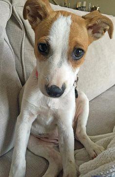 Maggie-the-Rat-Terrier-Mix