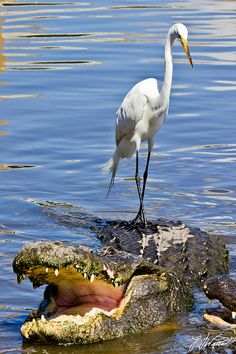 "Egret on top of an alligator in Louisiana (photo by Laura Varney) - ""Hey Al, I know it's an imposition but would you mind giving me a ride to work?"""