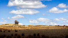 Yes, it's that windswept tree at Dog Rocks, Batesford, Victoria, Australia again. Victoria Australia, Lonely, Vineyard, Landscapes, Rocks, Dog, Outdoor, Paisajes, Outdoors