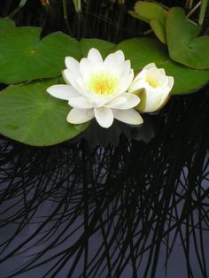Water lily - Foter