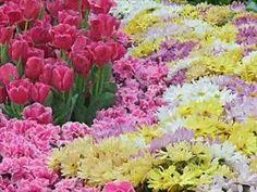 "Mantovani  plays ""Tulips from Amsterdam"""