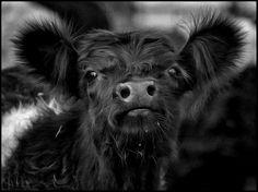 Belted galloway calf by gilliebg, via Flickr - Mooooooo