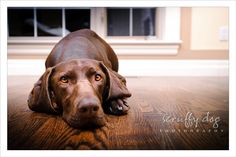 professional pics of german shorthaired pointers  ----   such a sweet story to go along with the pictures ~GG       Bing Images