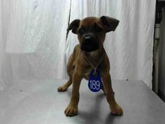 02/18/17-HOUSTON - SUPER URGENT - This DOG - ID#A477887 I have a possible adopter. I am a female, brown Rottweiler. The shelter staff think I am about 13 weeks old. I have been at the shelter since Feb 17, 2017. This information was refreshed 34 minutes ago and may not represent all of the animals at the Harris County Public Health and Environmental Services