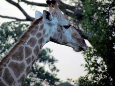 6- One of the most distinctive features of Giraffe is its short horns on its head which is also known as ossicones.Both male and female giraffes have horns. Giraffe horns are formed from ossified cartilage (cartilage that has transformed into bone) and for that reason the horns of giraffes are also called ossicones. The ossicones of giraffes remain covered by skin and fur. Ossicones can help to distinguish between male and female giraffes. Females have tufts of hair on the top of the…