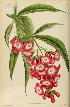 Charles Lemaire, Ambroise Verschaffelt, and Jean Linden Botanical Prints from Illustration Horticole, Journal Special des Serres et Des Jardins Art Floral, Illustration Botanique, Illustration Blume, Vintage Botanical Prints, Botanical Drawings, Botanical Flowers, Botanical Art, Impressions Botaniques, Floral Illustrations