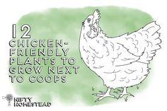 Chicken Friendly Plants