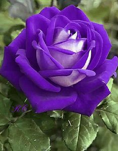 25 ideas for flowers purple roses Beautiful Rose Flowers, Rare Flowers, Love Rose, Exotic Flowers, Rose Violette, Rose Pictures, Purple Roses, Flower Wallpaper, Purple Flowers