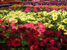 A beautiful stand of our Hybrid Petunia...