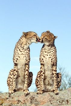 Cheetah kisses ~Inspired by Batiste's Wild Dry Shampoo~ #wild #cheetah #nature