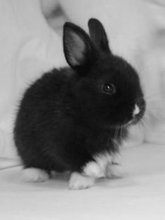 """I love the black bunny because it's cute. Can I pin as many bunny rabbits as I want? Animals And Pets, Funny Animals, Dwarf Rabbit, Pet Rabbit, Dwarf Bunnies, Bunny Rabbits, Black Bunny, Cute Baby Bunnies, White Bunnies"