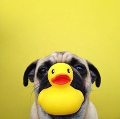Pug and rubber ducky