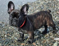 I am in love with French Bull Dogs-looks like it would be a good lap dog for the hubs. Not sure how the cat would feel about it. Gotta love the ears.