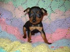 adorable miniature pinscher puppy