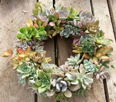 2 Living Succulent Wreath 12 Diameter ready to by SANPEDROCACTUS, $150.00