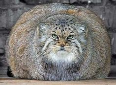 big fat pussy cat