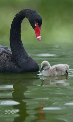Black Swan - Black Swan, Love, Lovely, Mother Care, Father Care