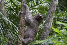 Sloths spend the majority of their life span in trees. According to the National Geographic, their long claws give them such a strong grip that even after their death they can be found suspended from the branch they were holding when alive.