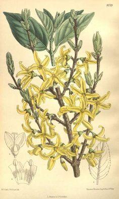 Forsythia europaea Degen & Bald.  Curtis's Botanical Magazine, vol. 131 [ser. 4, vol. 1]: t. 8039 (1905) [M. Smith])