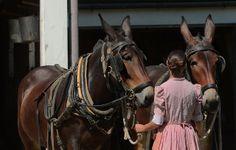 The mule team at Longstreet Farm