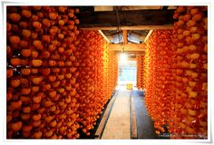 Korean Got Gam, or dried persimmons, out to dry