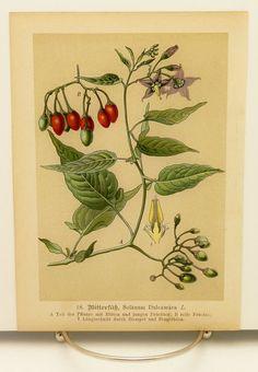 1890s Nightshade Poison Plant Botanical Print, Antique Flower Illustration No. 18