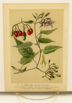 1890s Nightshade Poison Plant Botanical Print, Antique Flower Illustration No. 18