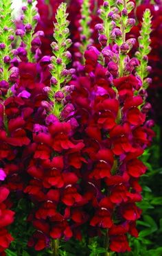 Snapdragon Opus Series - Wellgrow Horti Trading