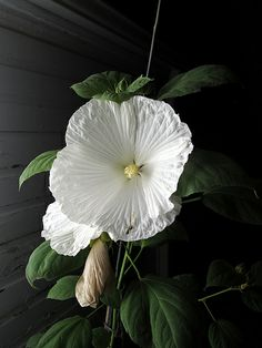 Hibiscus 'Blue River' - Rose Mallow.....