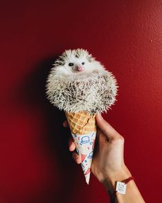 """4,476 Followers, 135 Following, 57 Posts - See Instagram photos and videos from Ophelia """"Ophie"""" The Hedgehog (@ophelia.hh)"""