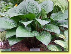'Celtic Uplands' What makes this specimen a stand-out is the leaf texture featuring pronounced crinkling Photo courtesy Naylor Creek Hostas