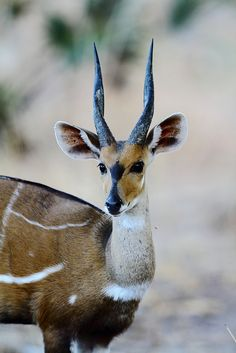 Kewel antelope - Most studies of what used to be known as the Bushbuck centered on the Imbabala and relatively little is known for certain about the Kewel.
