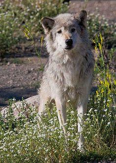 https://flic.kr/p/5byD1y | Grey-Wolf-Wildflowers | Yellowstone Grey Wolf hunts among summer wildflowers. Wyoming, 8/4/08