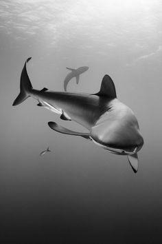 Sinuous Silky Shark by Paul Colley