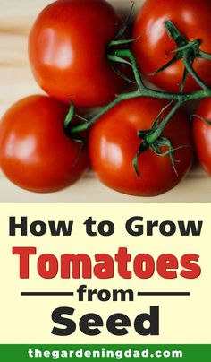 Learning How to Grow Tomatoes from Seed is so easy and rewarding! Learn growing, caring, harvesting, and storing tips and ideas! And you may even make money growing tomatoes!