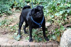 Transaminitis is the phrase which means increased levels of specified liver enzymes, that are identified as transaminases. Elevated Liver Enzymes, Almost Always, Surgery, French Bulldog, Key, Ultrasound, Serum, Change