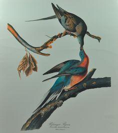 loverofbeauty:  John James Audubon: A male and a female passenger pigeon (via)