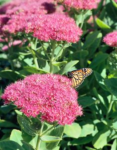 Succulents are easy to grow, stingy with water and rich in texture and shape. One of the 10 top choices for sedums and other hardy succulents that thrive in the Midwest. Plants With Pink Flowers, Purple Flowers, White Flowers, Beautiful Flowers, Cut Flowers, Planting Succulents, Planting Flowers, Succulent Plants, Cacti