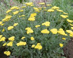 Achillea 'Moonshine', yarrow, sun, yellow flower