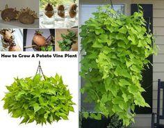How to Grow A Potato Vine Plant | http://www.iluvdiy.com/how-to-grow-a-potato-vine-plant/