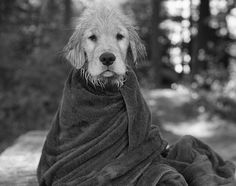 """*Tao*"" ---- [One of five Weber's Golden Retrievers]~[Photographer Bruce Weber]'h4d'121115"