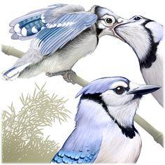 Blue Jay fledgling, Cyanocitta cristata, illustration by Patterson Clark Washing Dc, Blue Jay Bird, Bird Watching, Bird Art, Natural History, Beautiful Birds, This Is Us, Horses, Urban