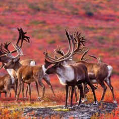 Caribou in the barren lands of the Northwest Territories. Canada in autumn - can you believe the colours?